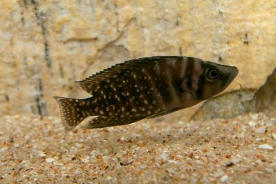 Altolamprologus calvus - 3-4.