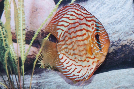 Discus Stendker Red Turquoise - 14.