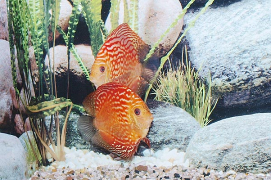Discus Stendker Pigeon Blood red - 12.