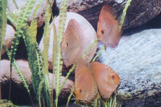 Discus Stendker Pigeon blood blue - 8.