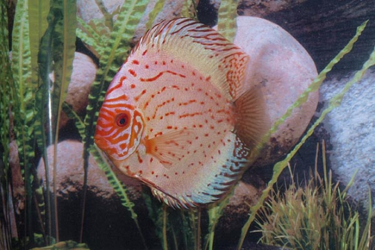 Discus Stendker Pigeon Blood silver - 14.