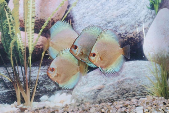 Discus Stendker Blue Diamond I - 8.