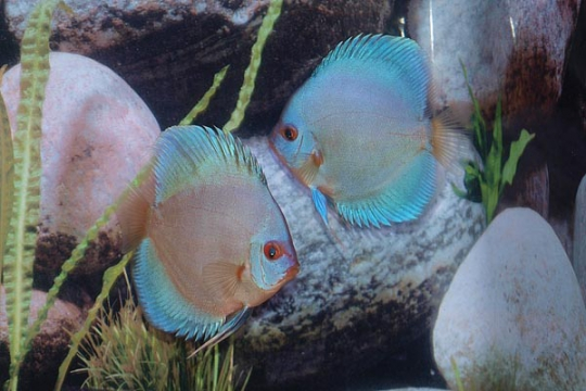 Discus Stendker Blue Diamond I - 10.