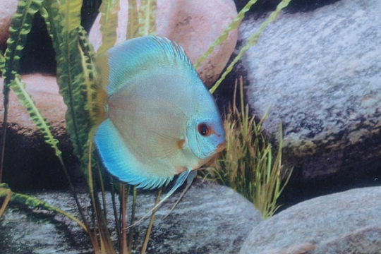 Discus Stendker Blue Diamond I - 12.