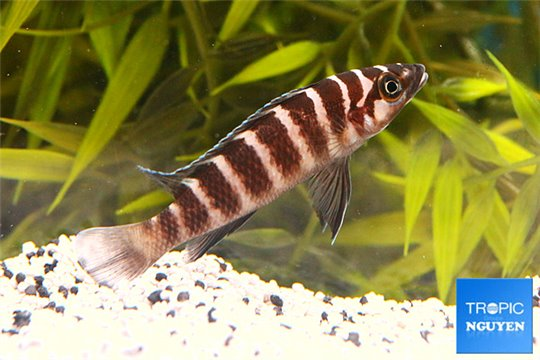 Neolamprologus cylindricus - 4-5.