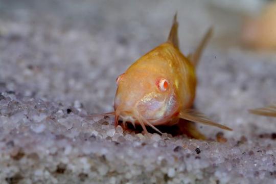 Corydoras aeneus doré - L
