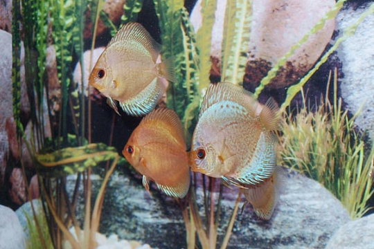 Discus Stendker Solid x Snake - 6,5.
