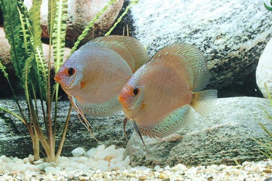 Discus Stendker Solid x Snake - 10.