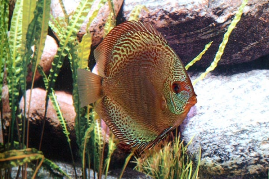 Discus Stendker Solid x Snake - 14.