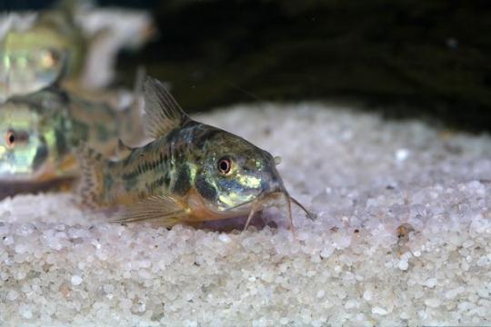 Corydoras paléatus - L