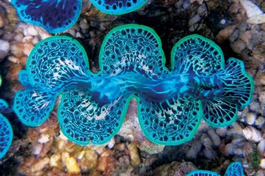 Bénitiers Maxima bleu 7-8
