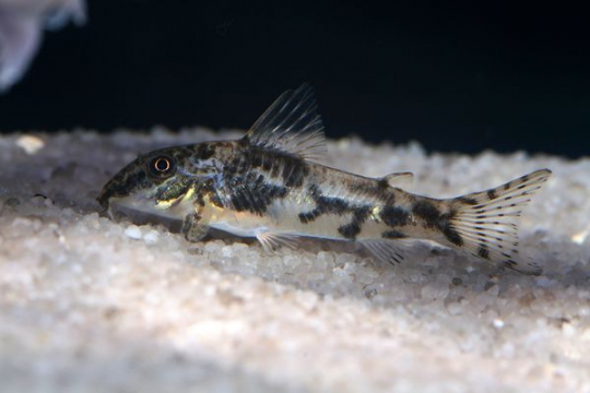 Corydoras barbatus - ML