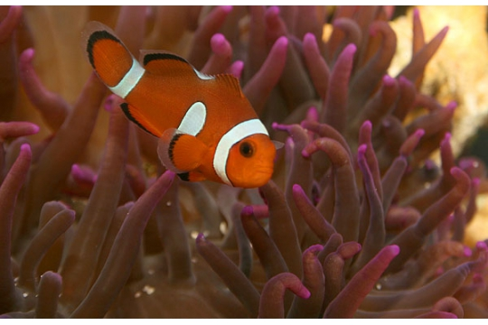 Amphiprion Ocellaris misbar elevage 3-3,5