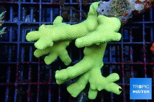 Porites cylindrica jaune Fidji 7-10