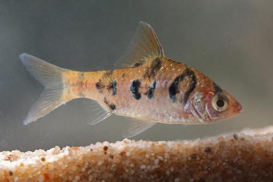 Barbus rhomboocellatus (Puntius) ML