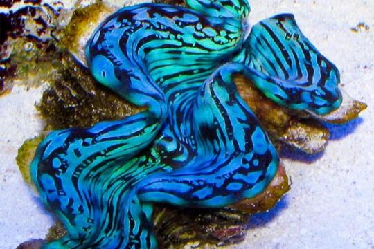 Bénitiers Squamosa bleu prémium elevage 6-7