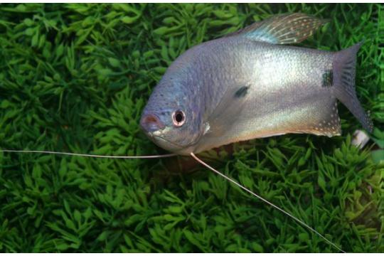 Gourami bleu (Tricho. trichopterus) - Adulte