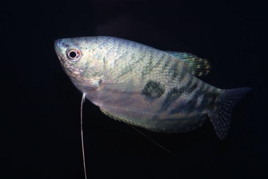 Gourami cosby (Tricho. trichopterus) - Adulte