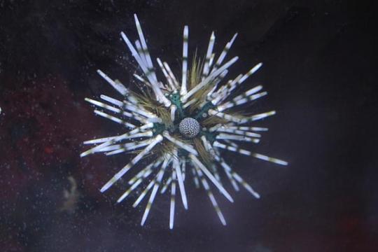 Oursins diademe Echinotrix calamaris - L