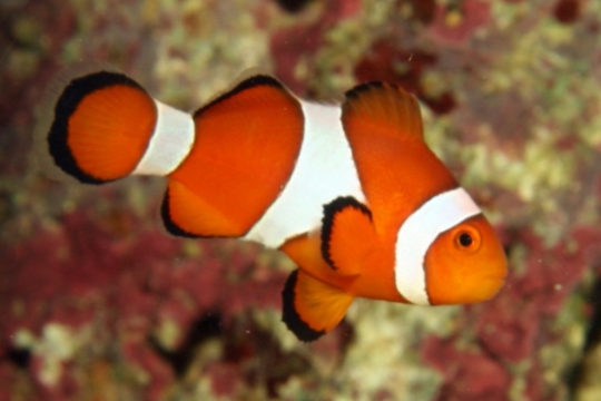 Amphiprion Ocellaris elevage - 4,0-5,5