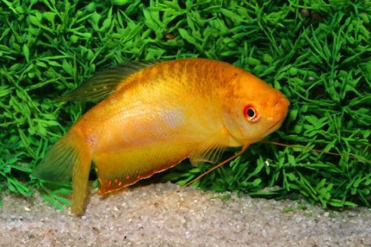 Gourami doré (Tricho. trichopterus) - Adulte