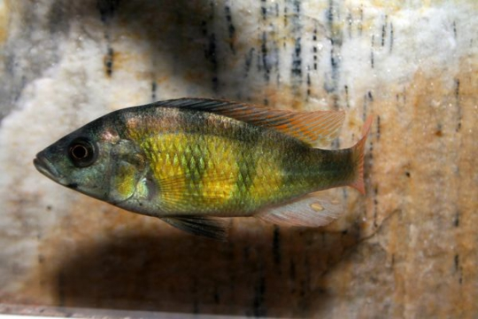 Haplochromis CH44 - 4-5.