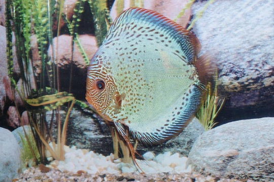 Discus Stendker Solid x Snake - 15.
